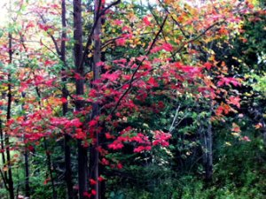 photo of tree with bright red leaves
